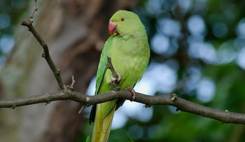 A rose-ringed parakeet.