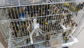 The goldfinches four Palestinians tried to smuggle through the Allenby Border Crossing on the Israel-Jordan border, December 27, 2019.