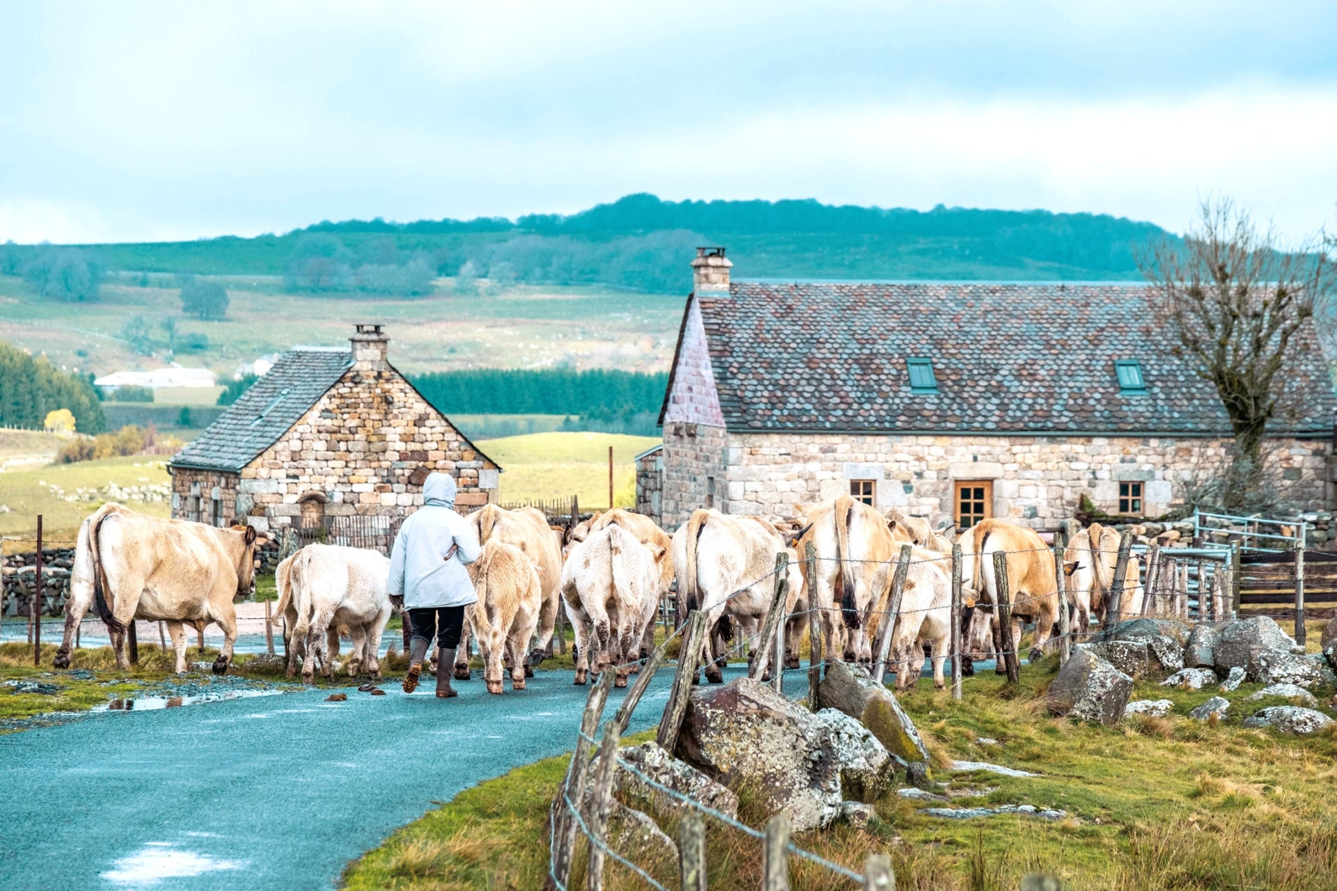"""Some people give credit for Lozère's recovery to the cows herded here. Today, the """"Aubrac steak"""" is known across France."""