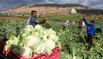 Palestinian farmers harvest cauliflower at a field in the Jordan Valley in the West Bank, February 1, 2020.