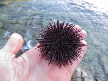 The purple edible sea urchin