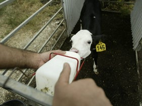 A calf is fed in Israel.