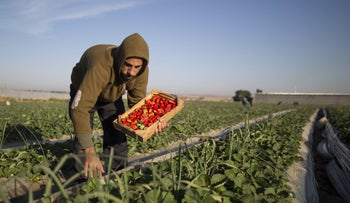 A Palestinian farmer collects strawberries in a field in Beit Lahia in the northern Gaza Strip on December 4, 2016.