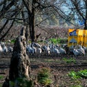Cranes in a field in northern Israel, February 19, 2020.