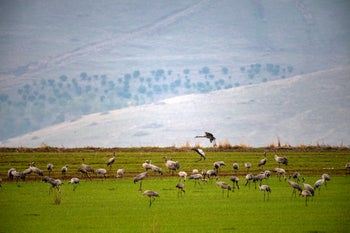 Cranes in northern Israel, February 19, 2020.