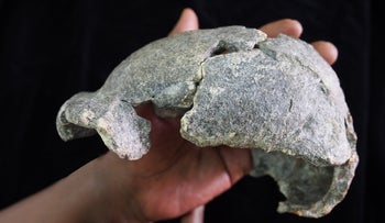 The female cranium, dated to about 1.5-1.6 million years  ago
