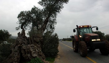 An extremely old olive tree in the Galilee