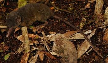 Hairy-tailed shrew, on the ground
