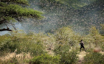 Ahmed Ibrahim, 30, an Ethiopian farmer, fends off desert locusts as they fly in his khat farm on the outskirt of Jijiga in Somali region, Ethiopia, January 12, 2020.