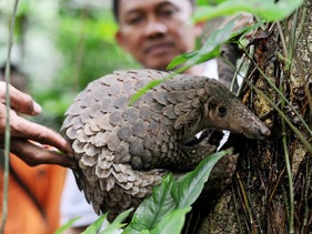 Pangolin liberated from smugglers is released back into the wild