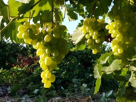 Grapes for the Feldstein Winery growing in Givat Nili in northern Israel, 2016.