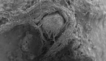Scanning electron microscope photo of Neanderthal cord from Abri du Maras