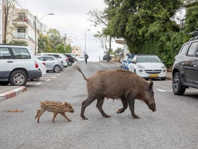 A wild boar makes its way through a deserted street during the coronavirus lockdown, April 11, 2020.