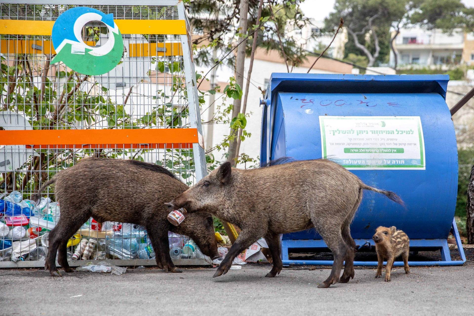 Wild boars in the Karmeliya neighborhood in Haifa, northern Israel, April 13, 2020.