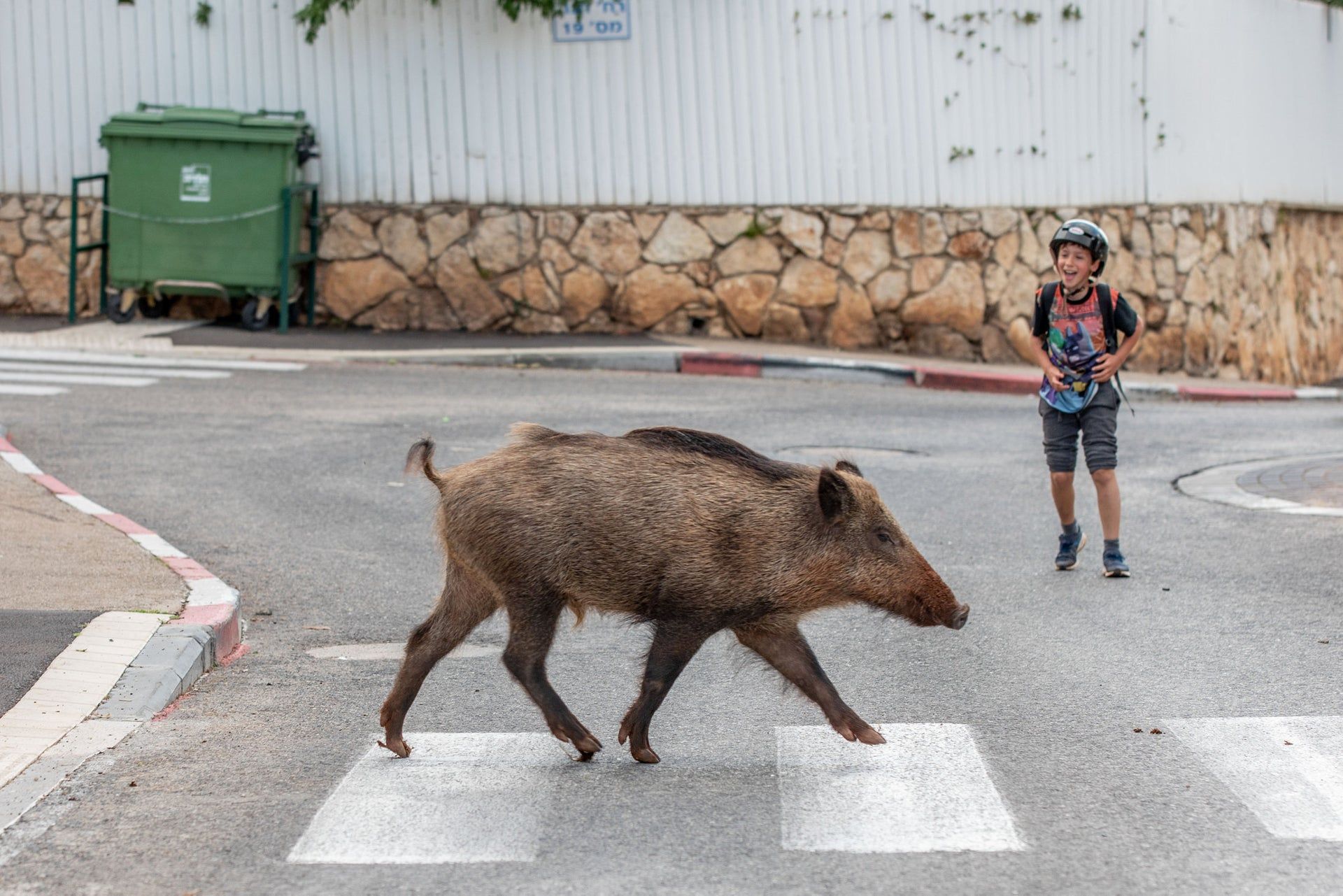 A child is amused at a wild boar crossing a road in Haifa, northern Israel, April 13, 2020.