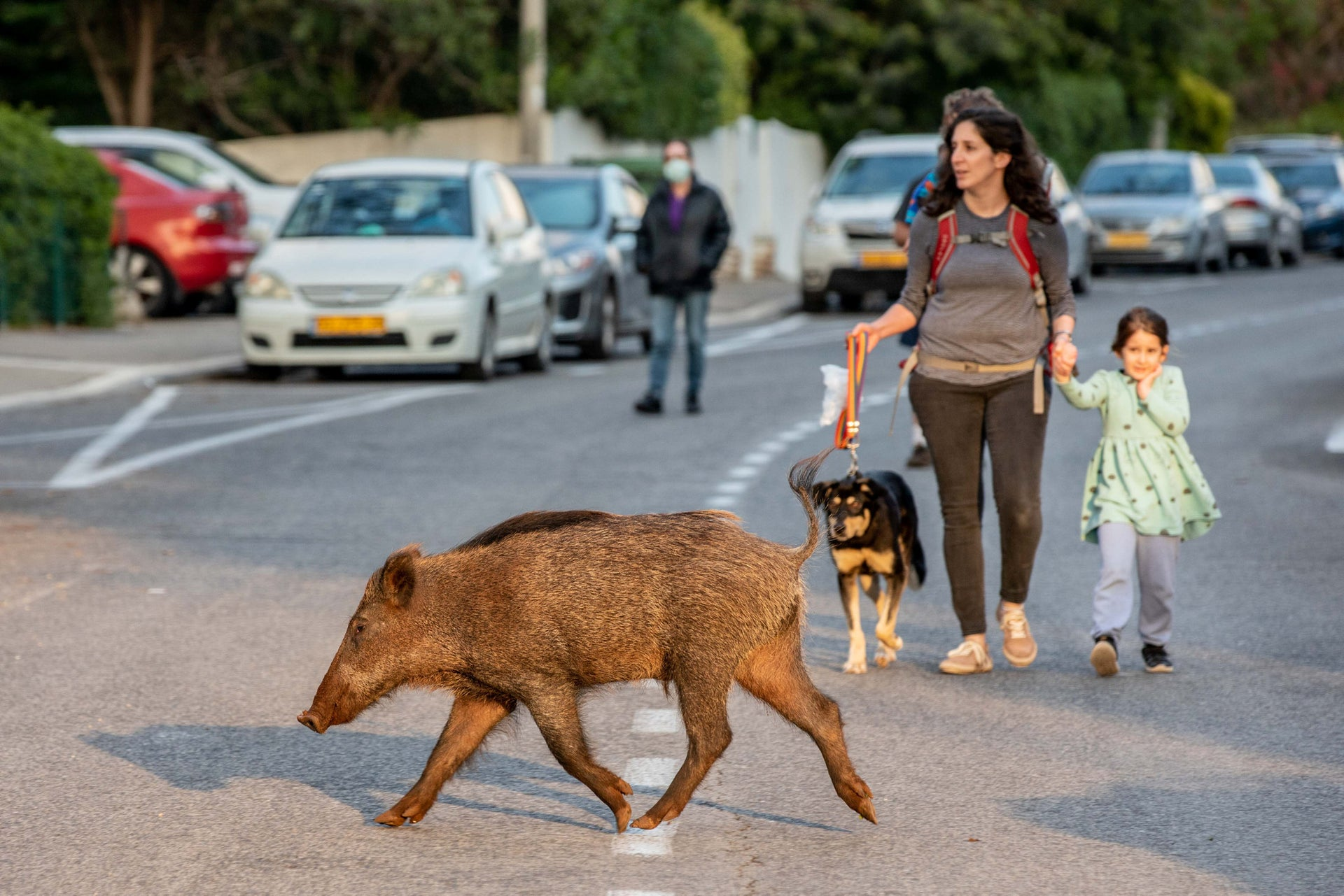 Wild boars in Haifa, northern Israel, April 13, 2020.