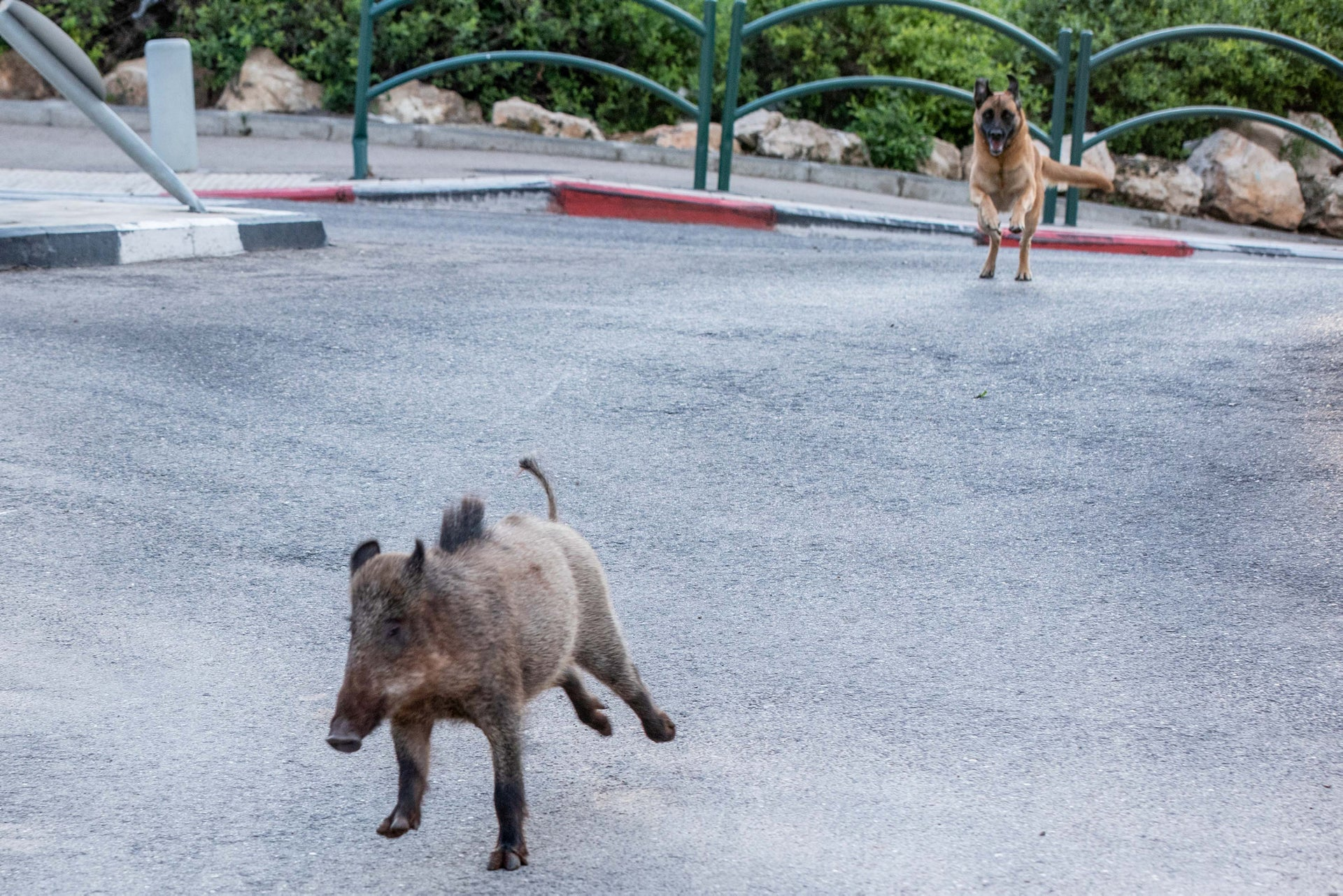 A wild boar runs for its life as it is chased by a dog in Haifa, in northern Israel, April 13, 2020.