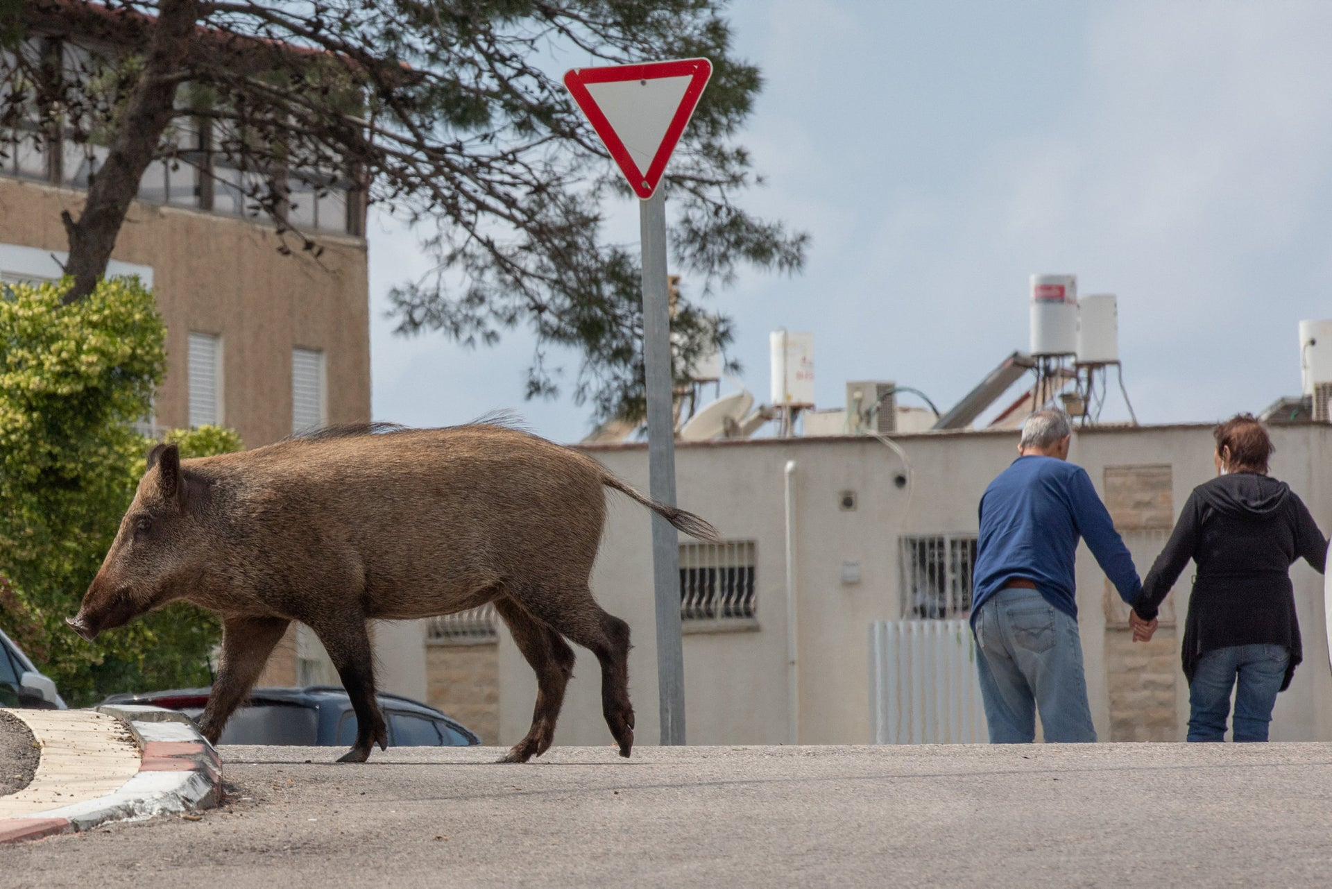 A wild boar in Haifa, northern Israel, April 13, 2020.