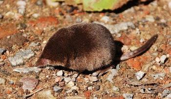 The Eurasian pygmy shrew is infected with myxozoans