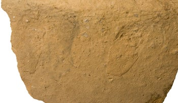 Fingerprints of index and middle fingers, right hand, made 4,700 years ago on the bottom of a storage vessel in Gath