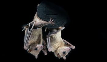 Young fruit bats: NOT the source of the coronavirus.