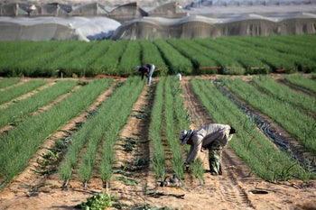 Thai workers harvest spring onions in a moshav in Hazeva, southern Israel. 28 March 2014