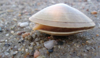 The sunset clam