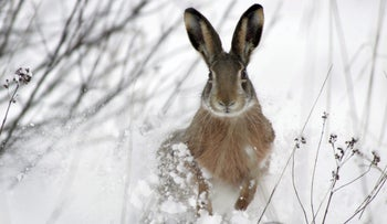 When hares get hungry...