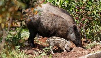 Wild boars roam next to a residential building after the government ordered residents to stay home to fight the spread of coronavirus, in Haifa, northern Israel April 2020.
