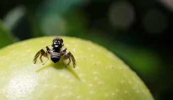 Apple fly on the object of its passion