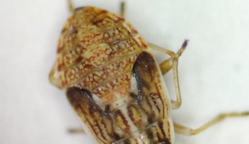 The bug of the type that proliferated in the south in mid-May 2020.