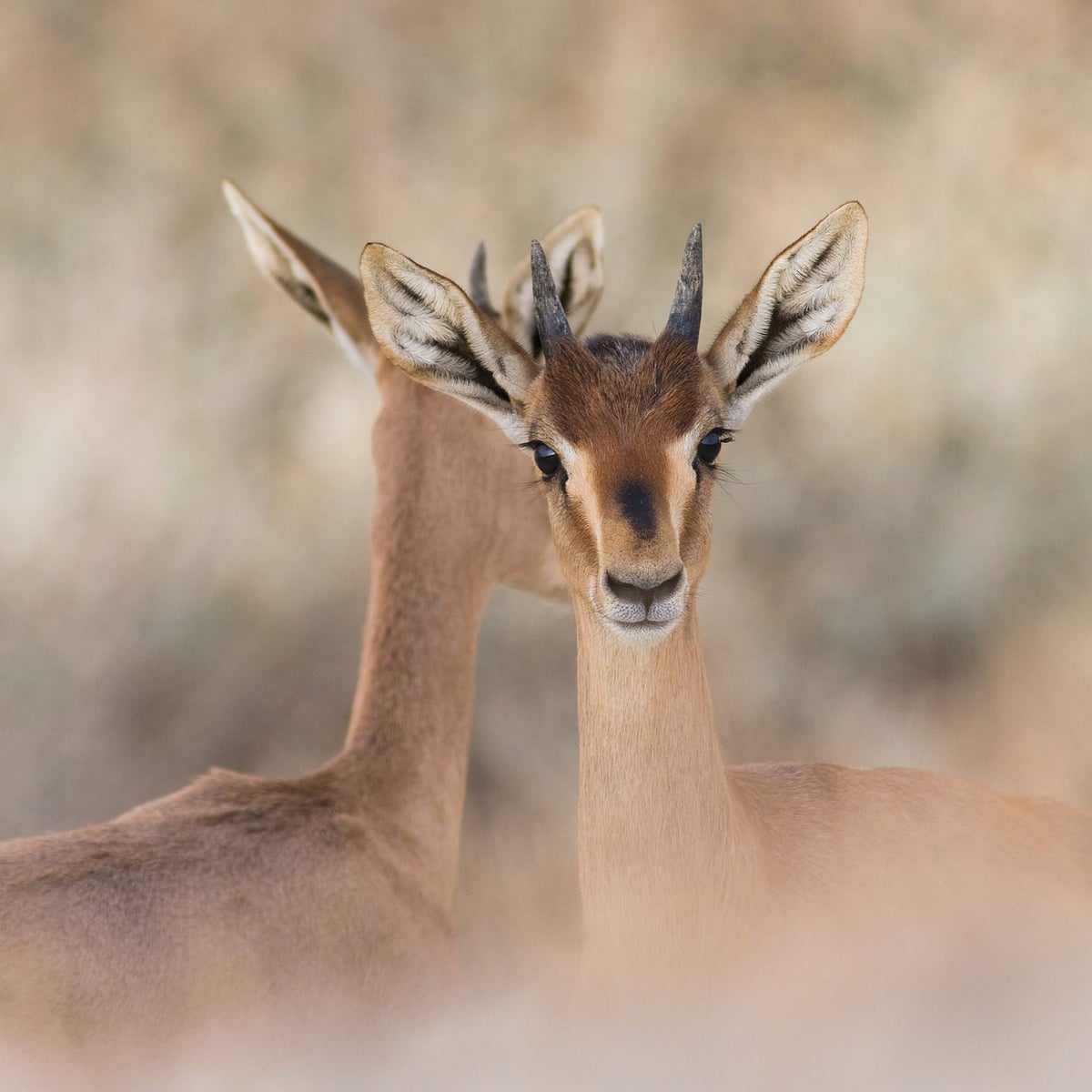 Gazelles in Jerusalem. Gazelles and hunted and hit by cars in large numbers every year.