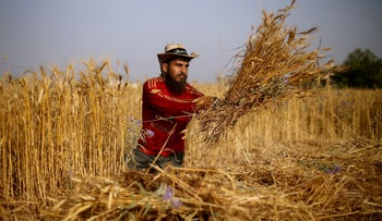 A Palestinian man, part of a group of unemployed university graduates who call themselves the 'Commandos,' harvests wheat at a field in the southern Gaza Strip, June 8, 2020.