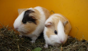 Two young guinea pigs.