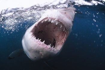 A shark opening its jaws while swimming in the Mediterranean Sea.