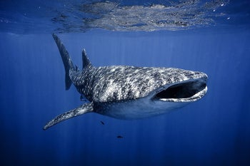 A whale shark in the Red Sea, by Eilat.