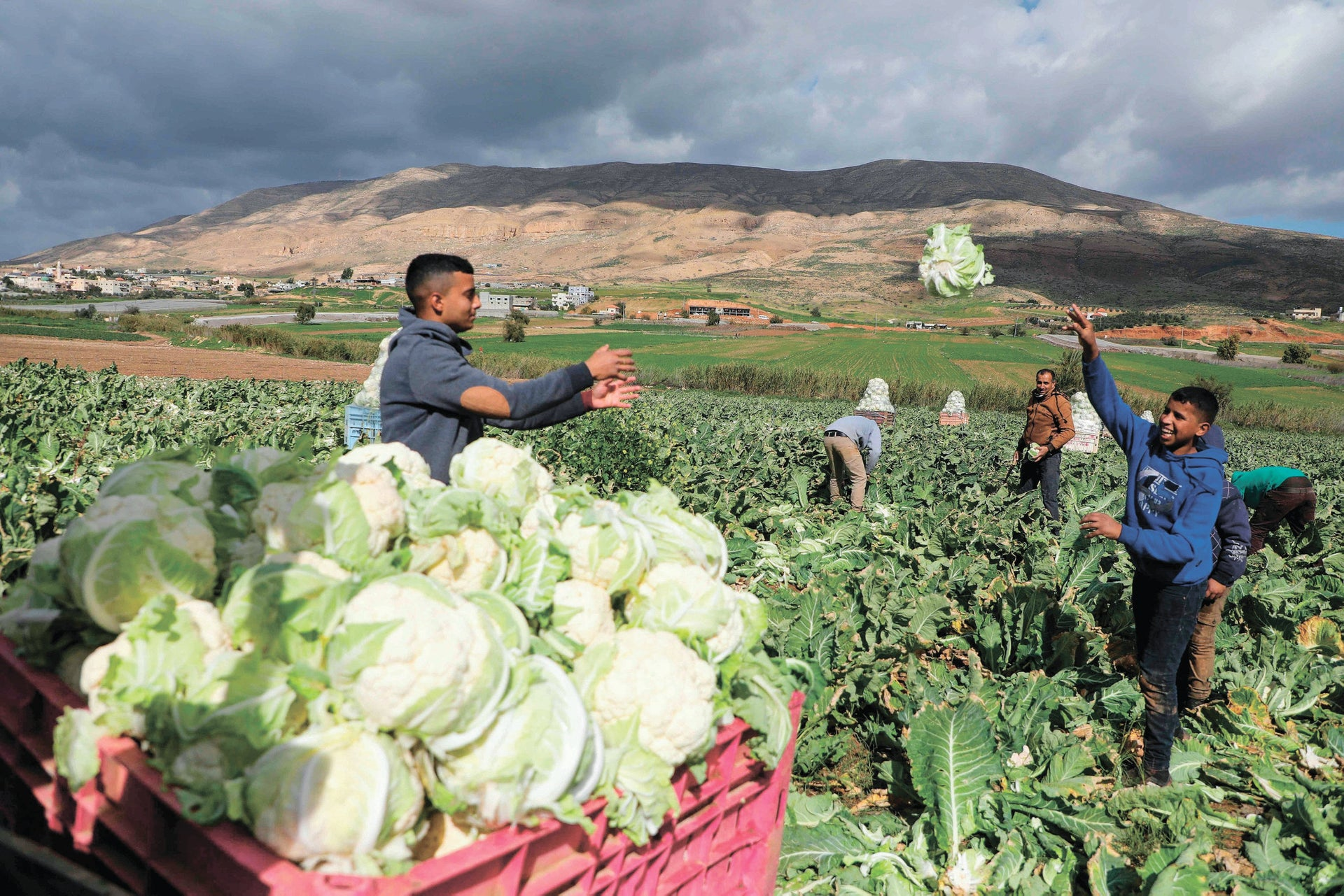 Palestinian farmers harvest cauliflower at a field in the Jordan Valley in the Israeli-occupied West Bank on February 1, 2020.
