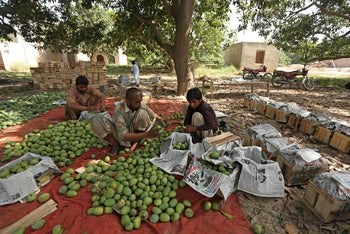 Laborers pack prized mangoes into boxes at a farm in Multan, Pakistan, as dwindling harvests and the the coronavirus crisis mean a disastrous season. June 22, 2020