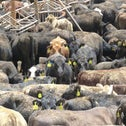 Calves destined for slaughter arriving in Eilat in 2016, filthy from a long journey from Austalia