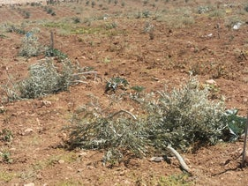 Trees are seen uprooted in the area of al-Tawamin in the South Hebron Hills, August, 23, 2020.