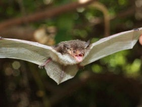 A white-winged bat from the newly named genus Pseudoromicia.