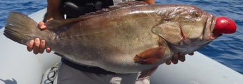 Someone holding a grouper.