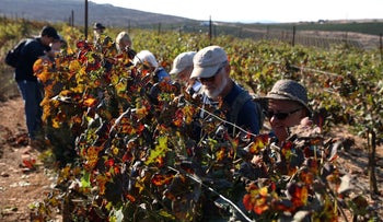 Volunteers from Hayovel work in the West Bank picking grapes and pruning, 2018