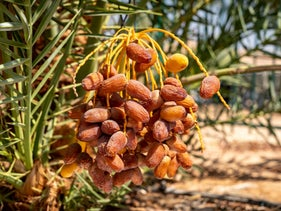Dates tree grown by a 2,000-year-old seed retrieved from archaeological sites in the Judean Desert, in Ketura, Israel, September 2, 2020.