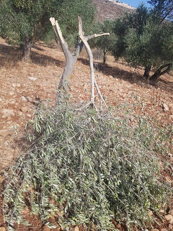 Olive trees cut down in a suspected hate crime in As-Sawiya, the West Bank, September 18, 2020.