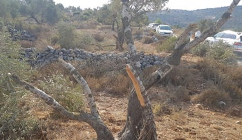 Trees defaced in As-Sawiya, the West Bank, September 18, 2020.
