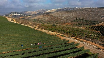 An aerial view showing evangelical volunteers harvesting Merlot wine grapes for Tura Winery in the West Bank settlement of Har Bracha, September 23, 2020.