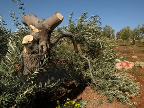 Destroyed olive tree in the village of Mreir, West Bank, January 24, 2019.