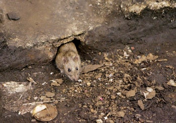 Rat population density could have been a factor in the spread of the plague.