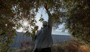 A Palestinian man harvesting olives next to the separation barrier, on his land that was sectioned off by the wall, near the West Bank village of Beit Awwa, October 12, 2020.